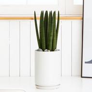 [당일수령]♣스투키_음이온화분 공기정화식물 이사 개업 관엽식물_전국화분배달전문_[플라워몰]