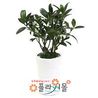 고무나무(웰빙식물)