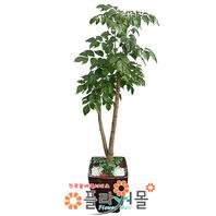[당일배송]녹보수02_(웰빙식물)_실내정화식물 공기정화화분 인테리어화분 집들이화분_전국화분배달[플라워몰]