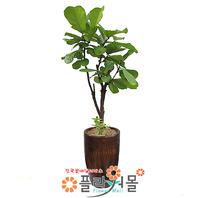 떡갈고무나무(웰빙식물)