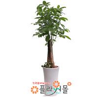 [당일배송]파키라02_(대박나무)_개업나무 인테리어화분 공기정화식물 축하화분_전국화분배달[플라워몰]