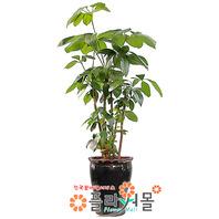 대엽홍콩01(웰빙식물)