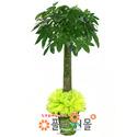 파키라(대박나무)(웰빙식물)