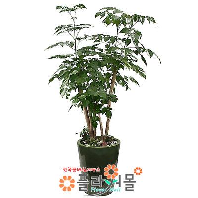 [당일수령]녹보수_(웰빙식물)_ 관엽식물 개업화분 _ 전국꽃배달[플라워몰]