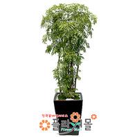 관엽식물★폴리안샤스(특)(웰빙식물)★공기정화식물/개업/이전/전시회/꽃배달서비스[플라워몰]